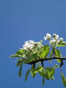 mit pæretræ