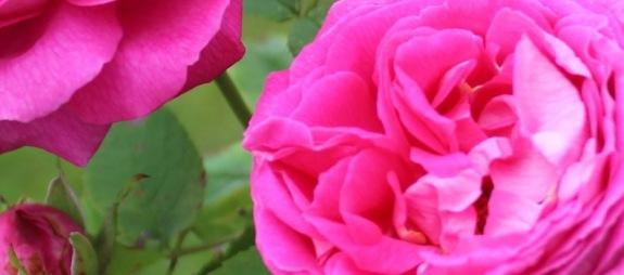 Duft til en smuk rose